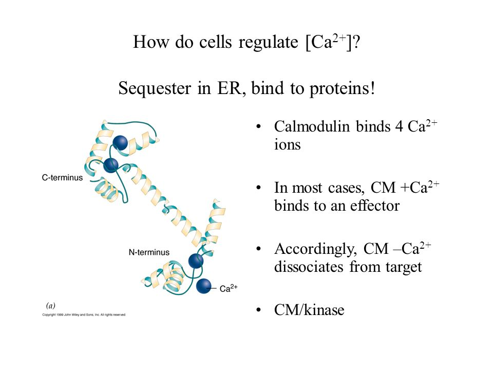 How do cells regulate [Ca2+] Sequester in ER, bind to proteins!